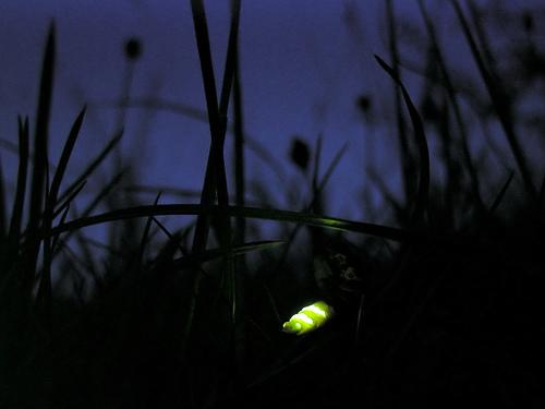 Glow_worm_lampyris_noctiluca