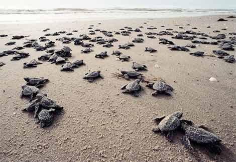 Havskildpaddeunger-paa-vej-mod-havet