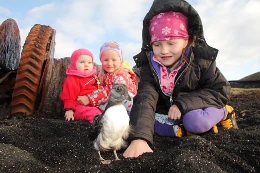 Ung lunde sættes ud ved kysten, efter at børnene har samlet den op i byen. Fot.: visitwestmanislands.com.