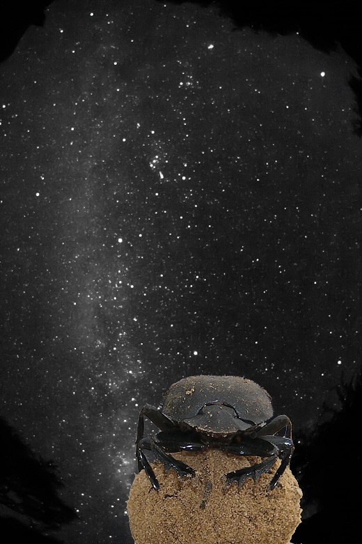 Møgbillen (Scarabaeus satyrus) orienterer sig ved hjælp af Mælkevejen. Fot.: Emily Baird.