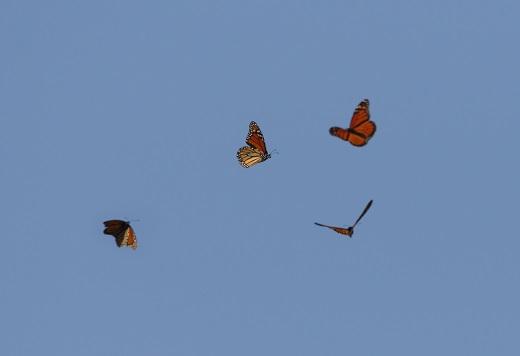 Trækkende monark sommerfugle. Fot.: Helge Sørensen (www2.birdphotos.dk).